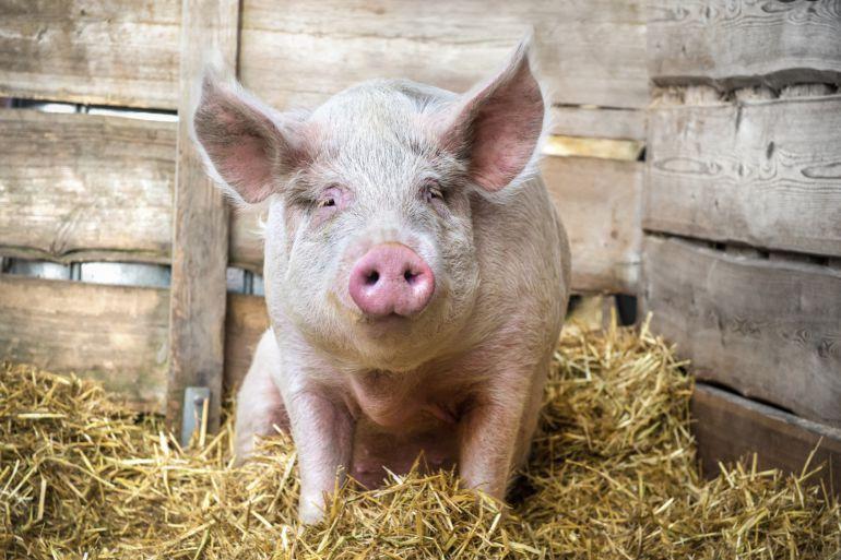 Sacrificio de cerdos para el consumo familiar 1