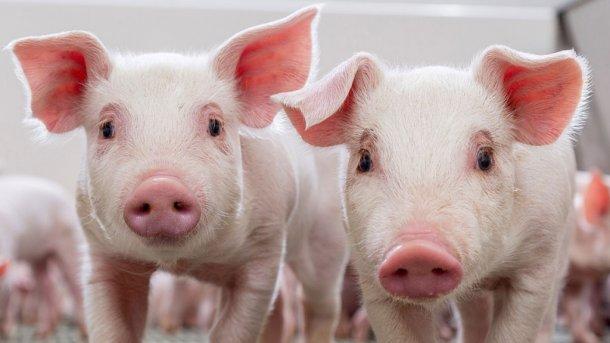 Sacrificio de cerdos para consumo familiar